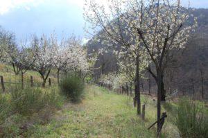 ciliegi-in-fiore